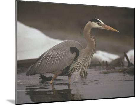 Close View of a Great Blue Heron Searching the Shallows for Food-Michael S^ Quinton-Mounted Photographic Print