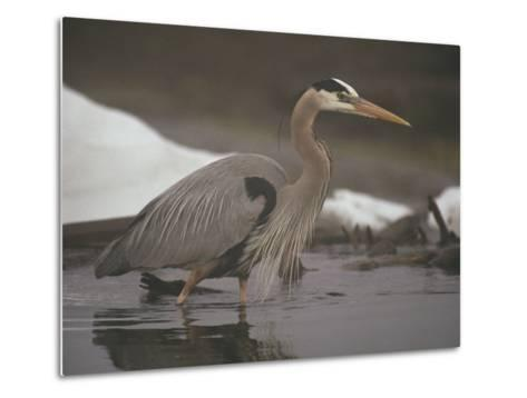 Close View of a Great Blue Heron Searching the Shallows for Food-Michael S^ Quinton-Metal Print