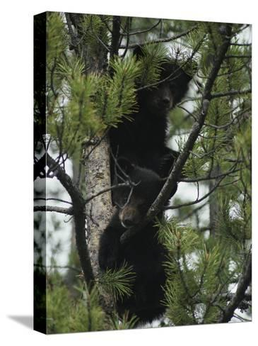 American Black Bear Cubs Climb a Lodgepole Pine-Michael S^ Quinton-Stretched Canvas Print