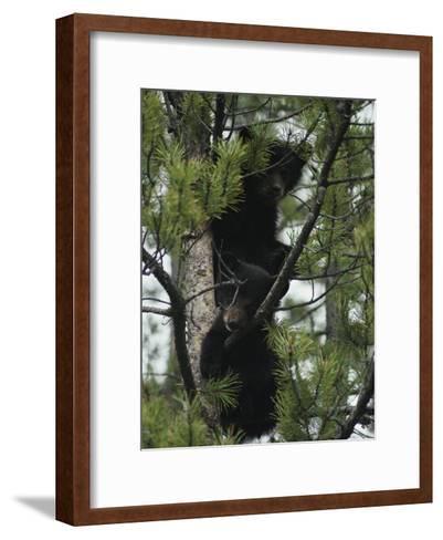American Black Bear Cubs Climb a Lodgepole Pine-Michael S^ Quinton-Framed Art Print