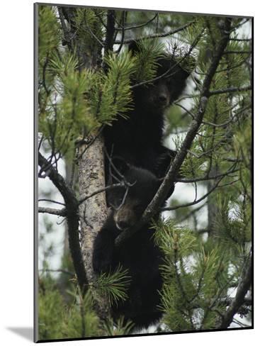 American Black Bear Cubs Climb a Lodgepole Pine-Michael S^ Quinton-Mounted Photographic Print