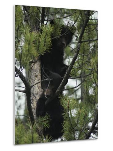 American Black Bear Cubs Climb a Lodgepole Pine-Michael S^ Quinton-Metal Print
