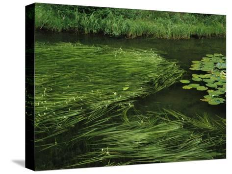 Marsh Grasses and Pond Lilies, Isa Lake on the Continental Divide-Raymond Gehman-Stretched Canvas Print