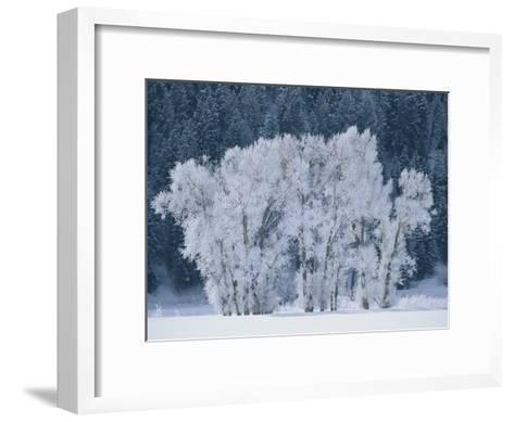 Cottonwood Trees with Frost Near Steamboat Springs, Colorado-Skip Brown-Framed Art Print