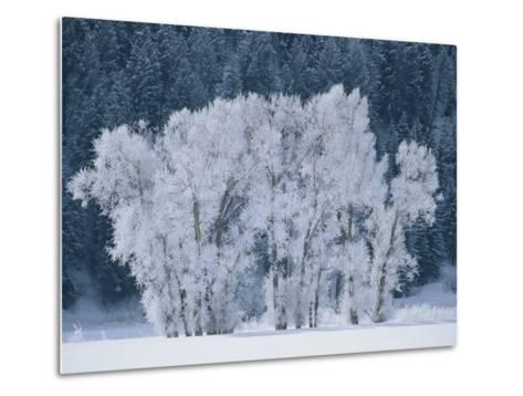Cottonwood Trees with Frost Near Steamboat Springs, Colorado-Skip Brown-Metal Print