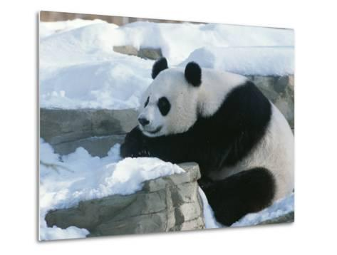 A Panda in the Snow at the National Zoo in Washington, Dc-Taylor S^ Kennedy-Metal Print
