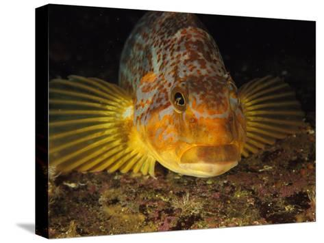 A Close View of the Face of a Member of the Rockfish Family-Bill Curtsinger-Stretched Canvas Print