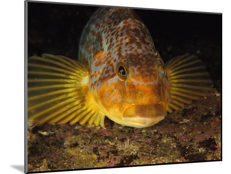 A Close View of the Face of a Member of the Rockfish Family-Bill Curtsinger-Mounted Photographic Print