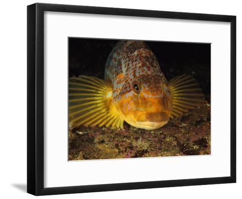 A Close View of the Face of a Member of the Rockfish Family-Bill Curtsinger-Framed Art Print
