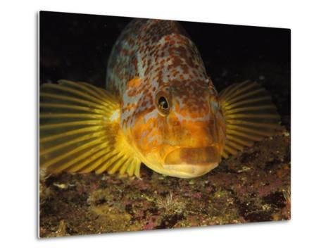 A Close View of the Face of a Member of the Rockfish Family-Bill Curtsinger-Metal Print