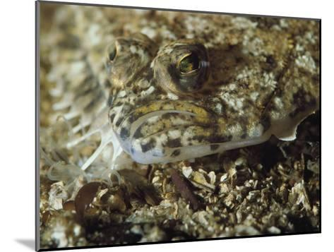 A Close View of a Well-Camouflaged Flounder-Bill Curtsinger-Mounted Photographic Print