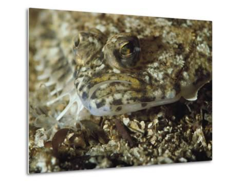 A Close View of a Well-Camouflaged Flounder-Bill Curtsinger-Metal Print
