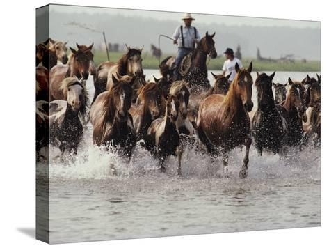 Chincoteague Cowboys Drive Their Wild Ponies to Auction-Medford Taylor-Stretched Canvas Print