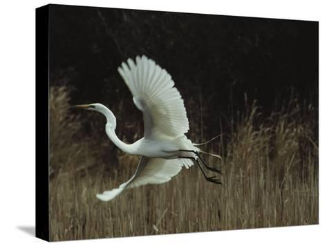 A Greater Egret Takes Flight--Stretched Canvas Print