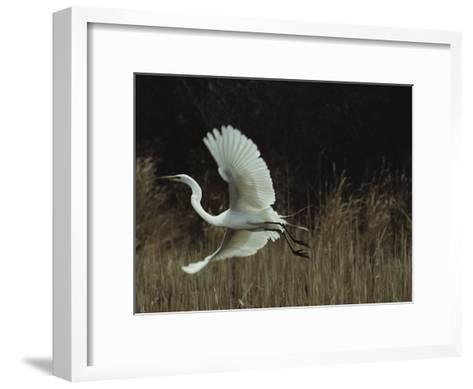 A Greater Egret Takes Flight--Framed Art Print