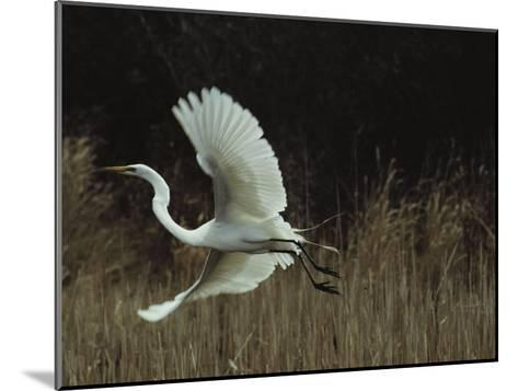 A Greater Egret Takes Flight--Mounted Photographic Print