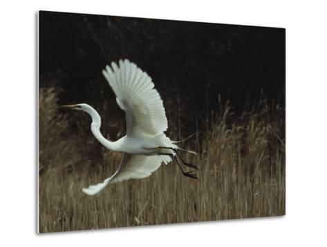 A Greater Egret Takes Flight--Metal Print