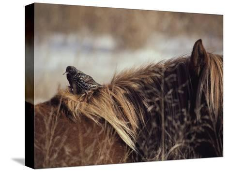 A Grackle Perches in the Mane of a Wild Chincoteague Pony-Medford Taylor-Stretched Canvas Print