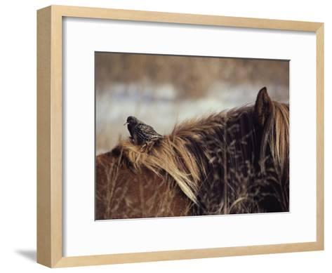 A Grackle Perches in the Mane of a Wild Chincoteague Pony-Medford Taylor-Framed Art Print