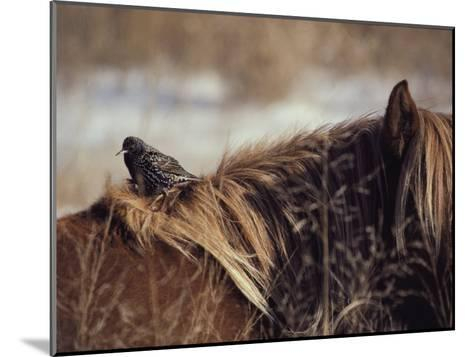 A Grackle Perches in the Mane of a Wild Chincoteague Pony-Medford Taylor-Mounted Photographic Print