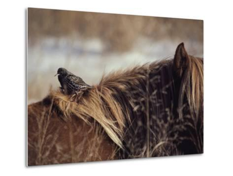 A Grackle Perches in the Mane of a Wild Chincoteague Pony-Medford Taylor-Metal Print