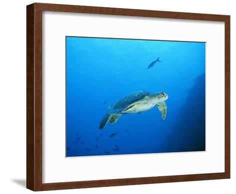 Green Sea Turtle, off Sipadan Island, East Malaysia-Joe Stancampiano-Framed Art Print