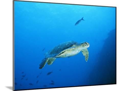 Green Sea Turtle, off Sipadan Island, East Malaysia-Joe Stancampiano-Mounted Photographic Print