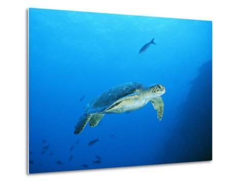Green Sea Turtle, off Sipadan Island, East Malaysia-Joe Stancampiano-Metal Print