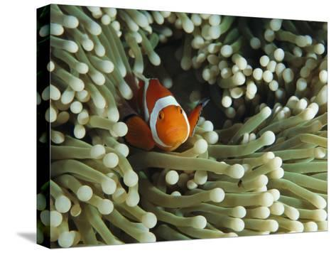 Clown Anemonefish in Sea Anemone, Pacific Ocean-Joe Stancampiano-Stretched Canvas Print