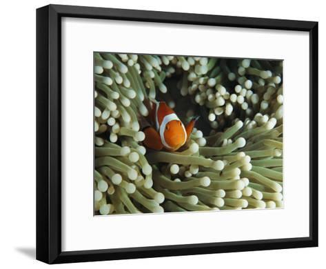 Clown Anemonefish in Sea Anemone, Pacific Ocean-Joe Stancampiano-Framed Art Print