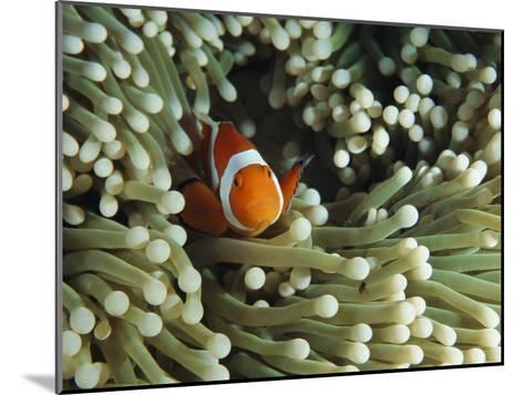 Clown Anemonefish in Sea Anemone, Pacific Ocean-Joe Stancampiano-Mounted Photographic Print