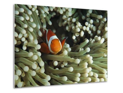 Clown Anemonefish in Sea Anemone, Pacific Ocean-Joe Stancampiano-Metal Print