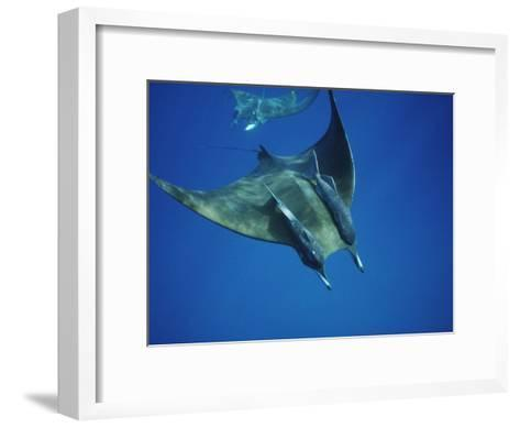 Manta Ray with Remoras, Cocos Islands, Indian Ocean-Joe Stancampiano-Framed Art Print