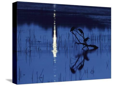Herons Silhouetted on a Branch in a Chincoteague Marsh-Medford Taylor-Stretched Canvas Print