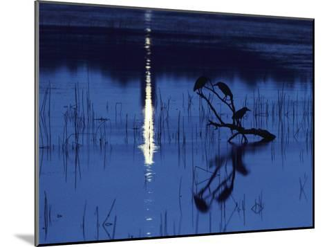 Herons Silhouetted on a Branch in a Chincoteague Marsh-Medford Taylor-Mounted Photographic Print