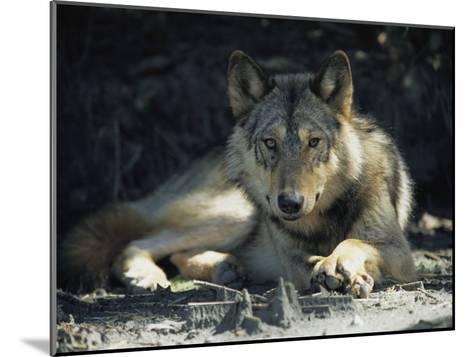 Gray Wolf-Joel Sartore-Mounted Photographic Print