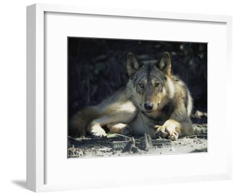 Gray Wolf-Joel Sartore-Framed Art Print
