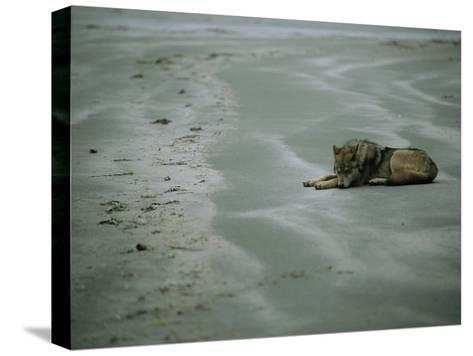 Gray Wolf on Beach-Joel Sartore-Stretched Canvas Print