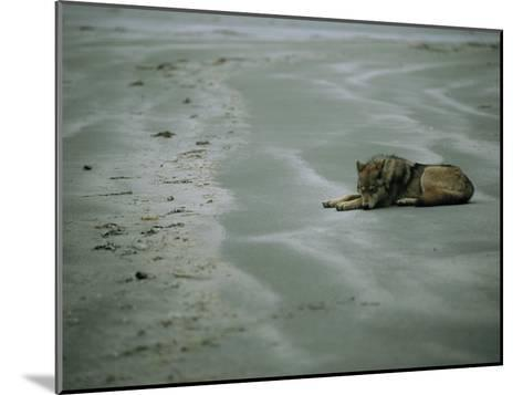 Gray Wolf on Beach-Joel Sartore-Mounted Photographic Print
