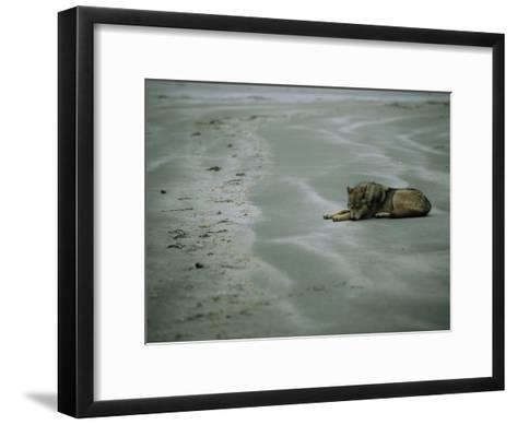 Gray Wolf on Beach-Joel Sartore-Framed Art Print