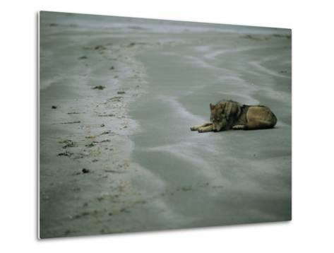 Gray Wolf on Beach-Joel Sartore-Metal Print