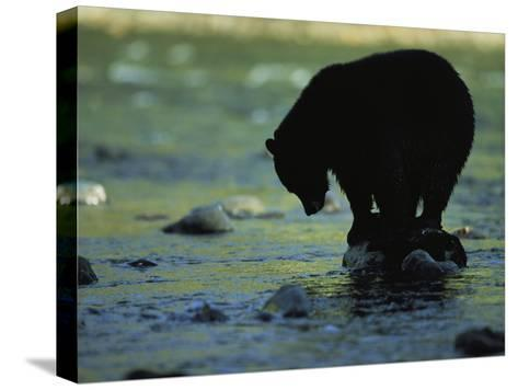 Black Bear Perched on Rock Watching for Fish-Joel Sartore-Stretched Canvas Print