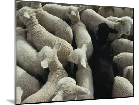 Lambs in a Pen Seen from Above-Joel Sartore-Mounted Photographic Print