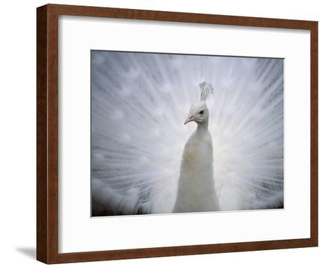 A White Peacock, Pavo Sp-Joel Sartore-Framed Art Print