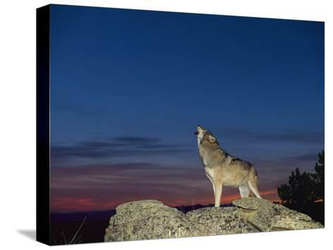 A Wolf Howls at Twilight-Norbert Rosing-Stretched Canvas Print