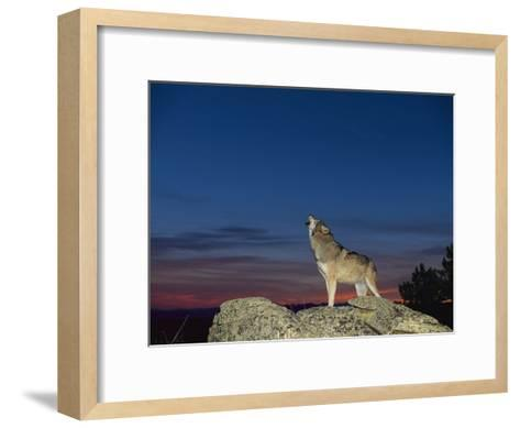 A Wolf Howls at Twilight-Norbert Rosing-Framed Art Print
