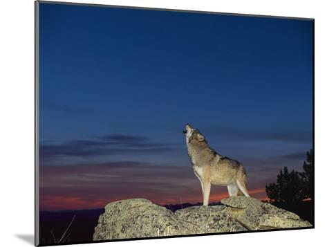 A Wolf Howls at Twilight-Norbert Rosing-Mounted Photographic Print