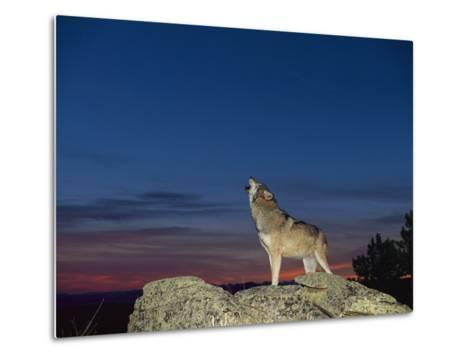 A Wolf Howls at Twilight-Norbert Rosing-Metal Print