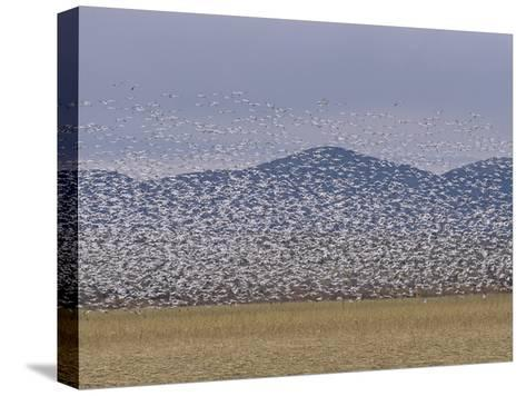 Flock of Snow Geese Take Flight in Bosque Del Apache Wildlife Refuge-Marc Moritsch-Stretched Canvas Print