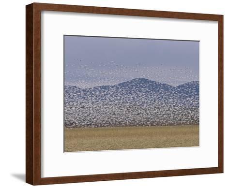 Flock of Snow Geese Take Flight in Bosque Del Apache Wildlife Refuge-Marc Moritsch-Framed Art Print